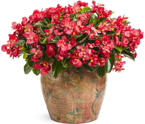 نگهداری و پرورش گل بگونیا